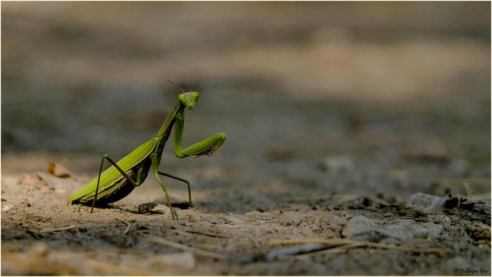 Mantis Religiosa 24.09.2016