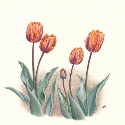 Tulpe Princesse Irene - Farbstifte, 30 x 30 cm