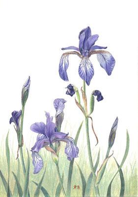 Sibirische Schwertlilien - Farbstifte, Din A4