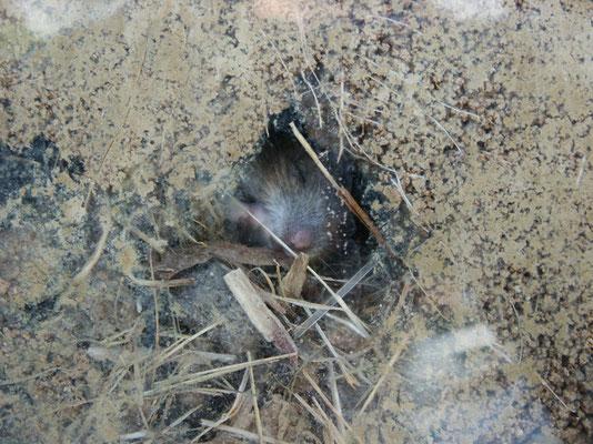 Maus im Boden hinter einem Sichtfenster