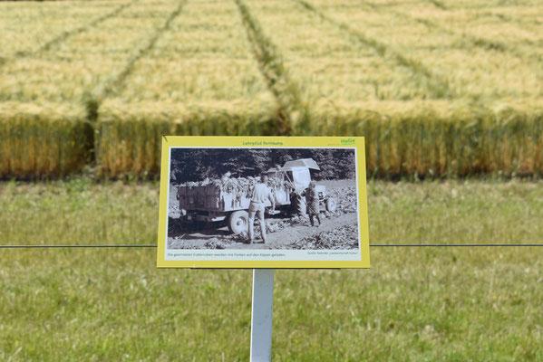 """Bildtafel """"Landwirtschaft früher""""; Futterrübenernte"""