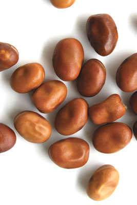 Ackerbohnenkörner