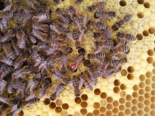 Schaukasten mit Bienen in der Wabe