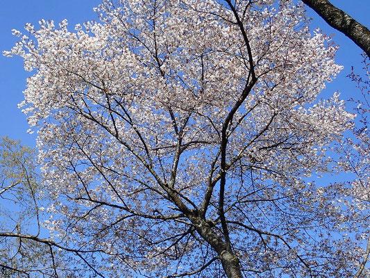 桜並木入口ヤマザクラ