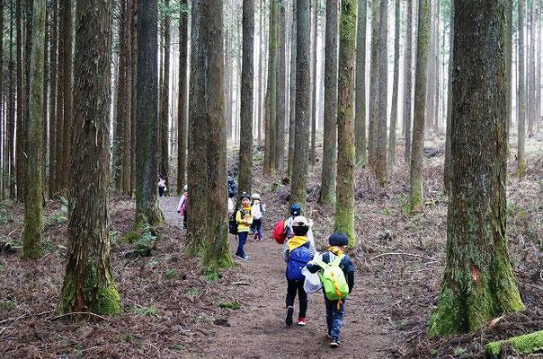 ヒノキの森を歩く