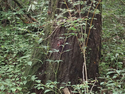 木の幹に集まるカブトムシと蜂
