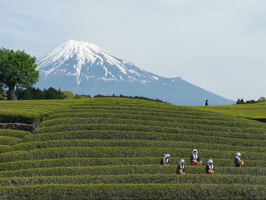 笹場の茶摘み風景