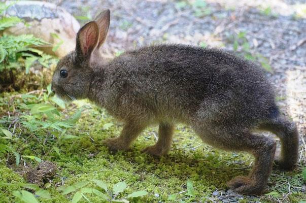 ノウサギの関根君2