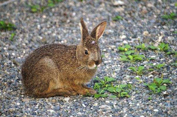 ノウサギ1