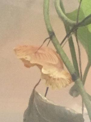 ジャコウアゲハの蛹虫かご