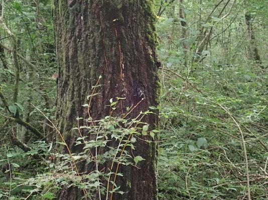 木の幹に集まるカブトムシ