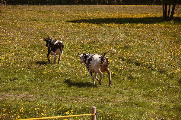 Ein für uns alle historischer Moment: Der Weideaustrieb im Frühjahr 2018. Die meisten unserer Tiere betraten dabei erstmals in ihrem Leben Weideland.