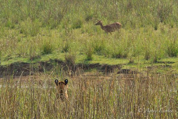 Jeune tigresse chassant, Telia, Tadoba