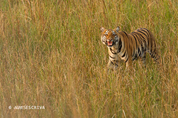 Jeune tigresse en flehmen, Telia, Tadoba