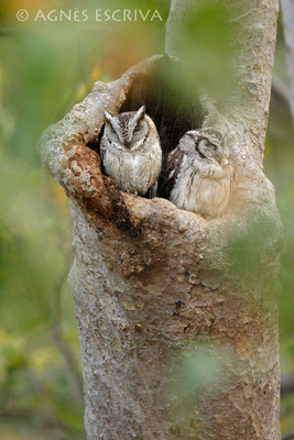 Chouettes petit-duc - Indian Scops Owl