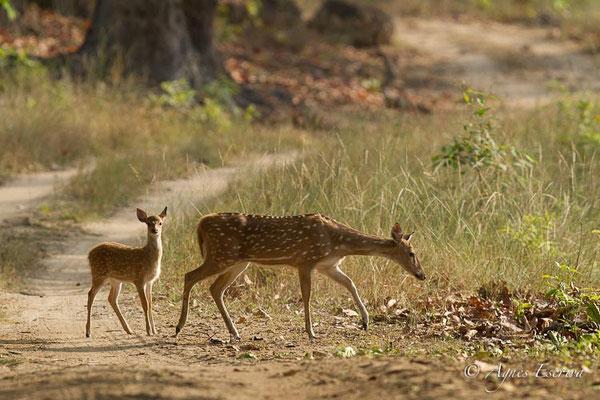 Cerf axis femelle et jeune