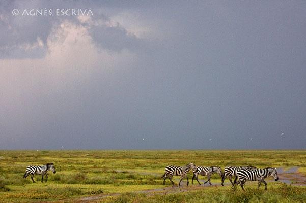 Zèbres après l'orage - Tanzanie 2008