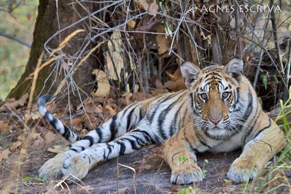 Le repos du jeune tigre