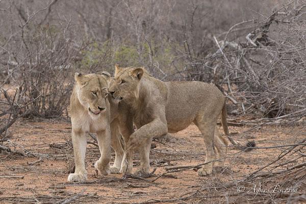 Timbavati - Afrique du Sud - Octobre 2016