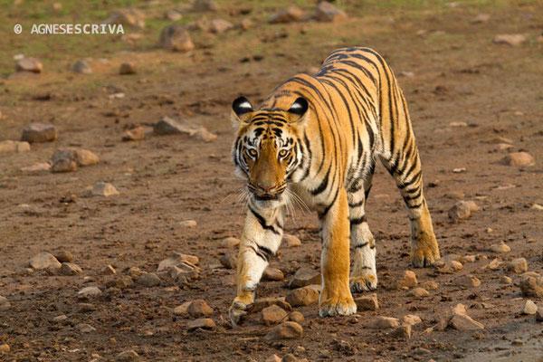 Jeune tigresse, Telia, Tadoba