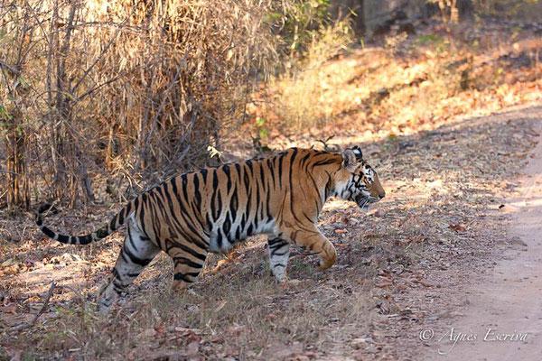 Banbehi, tigresse de 6 ans
