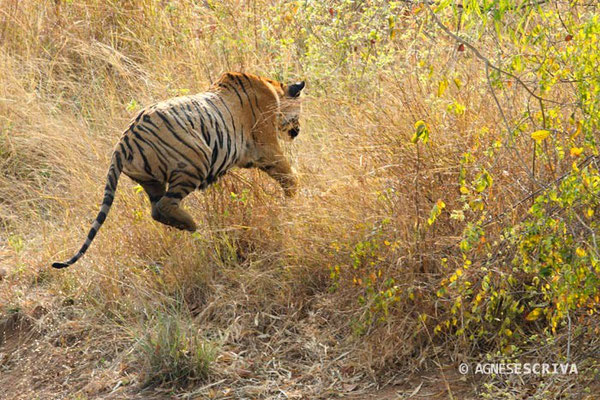 Jeune tigresse de 18 mois, Telia, Tadoba-Andhari, sautant sur sa soeur