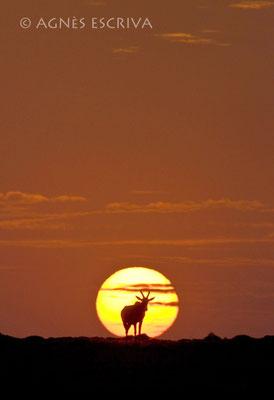 Topi d'or - Kenya août 2009
