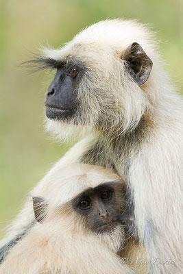 Mère et jeune langur