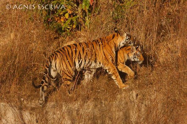 Jeune tigre et sa mère