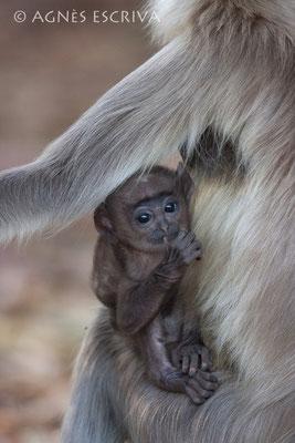 Bébé singe langur