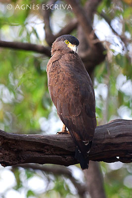 Regard en coin - Serpent eagle