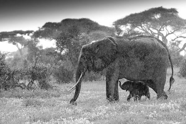 Amboseli - Kenya décembre 2015