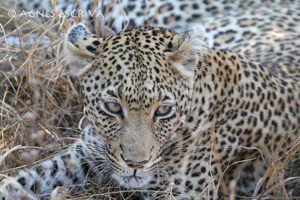 Mbali femelle née en 1997 mère de Kuhanya (août 2006)