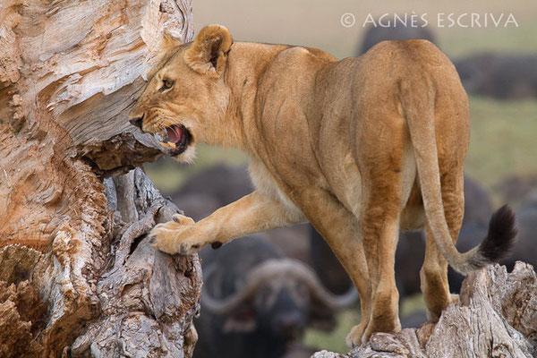 Charm, fille de Red, une des 3 grâces, mère des 3 lionceaux de 2 mois