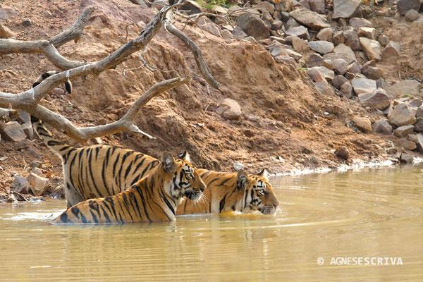 2 jeunes tigresses de 18 mois, Telia, Tadoba-Andhari, filles de Waghdoh male et de Telia female. La portée compte 4 femelles.