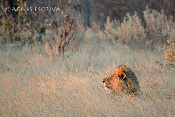 Profil de roi - Botswana 2007