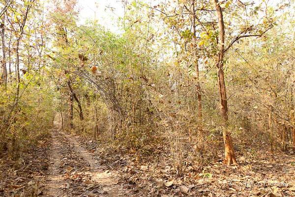 Forêt de bambous, Tadoba