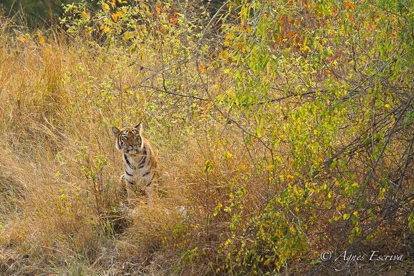 Jeune tigresse de 18 mois, Telia, Tadoba-Andhari