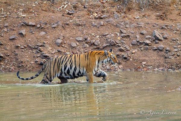 Jeune tigresse sortant du bain