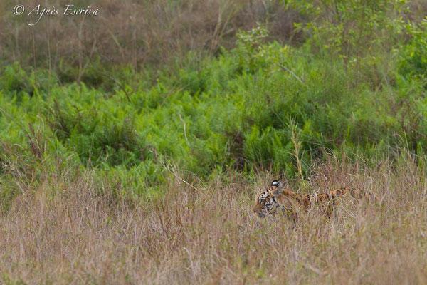 Tigresse à l'affût, Banbehi