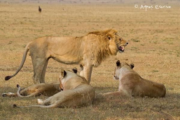 Lion et 3 lionnes de 3 ans ex ado de Bilashaka