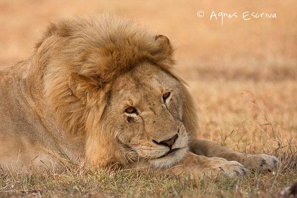Lion de 3 ans ex ado de Bilashaka