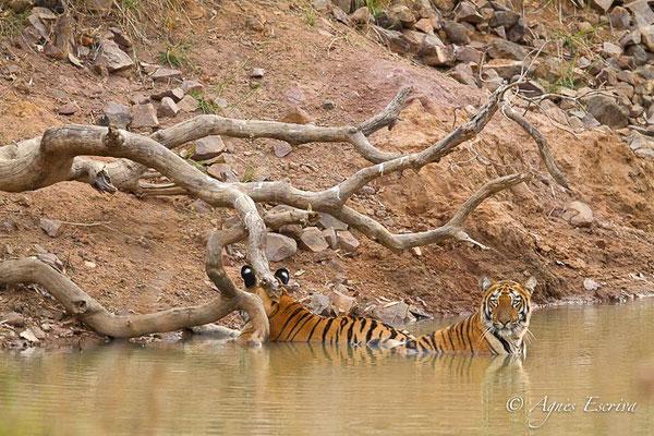 2 jeunes tigresses de 18 mois, Telia, Tadoba-Andhari