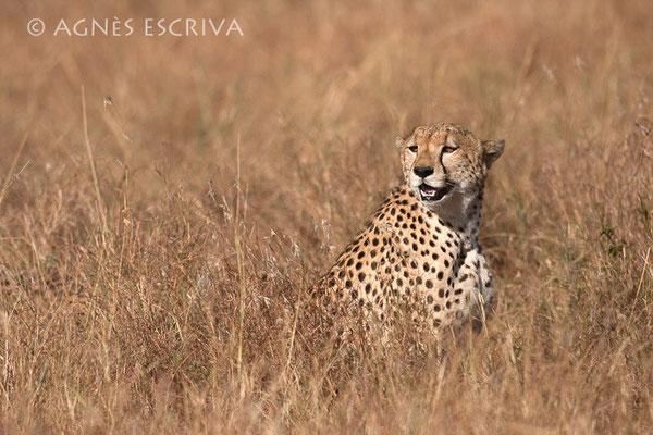Un des 3 frères guépards - Kenya août 2010