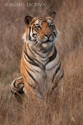 Jeune tigre regardant sa belle
