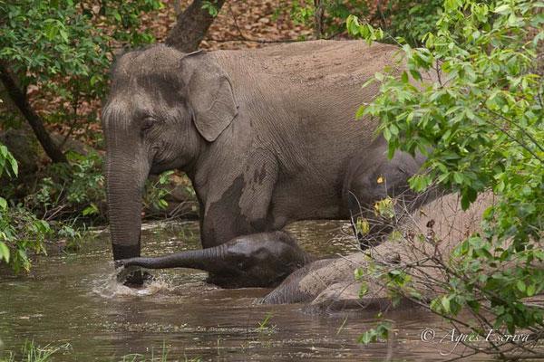 Le bain des éléphants 1
