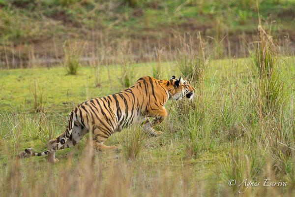 Jeune tigresse à la chasse, Telia, Tadoba