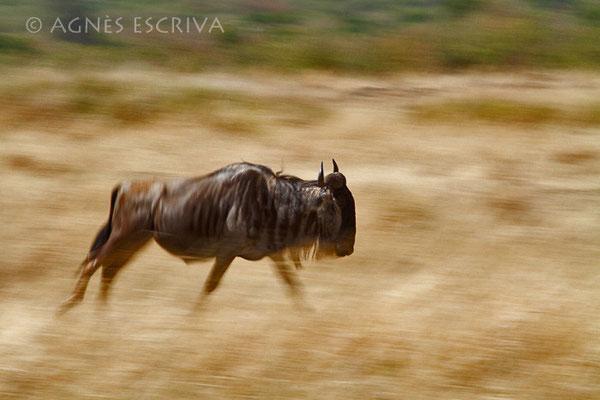 Filé de gnou - Kenya août 2010