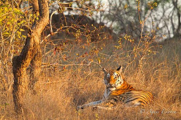 Kankati, tigresse de 6 ans, Bandhavgarh