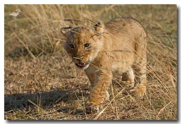 lionceau de 2 mois, petit de Charm